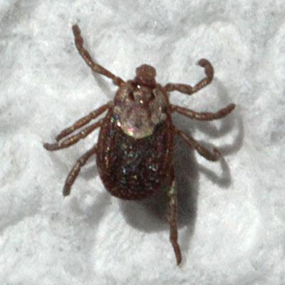 pacific coast tick  ... occidentalis , female (Marx,