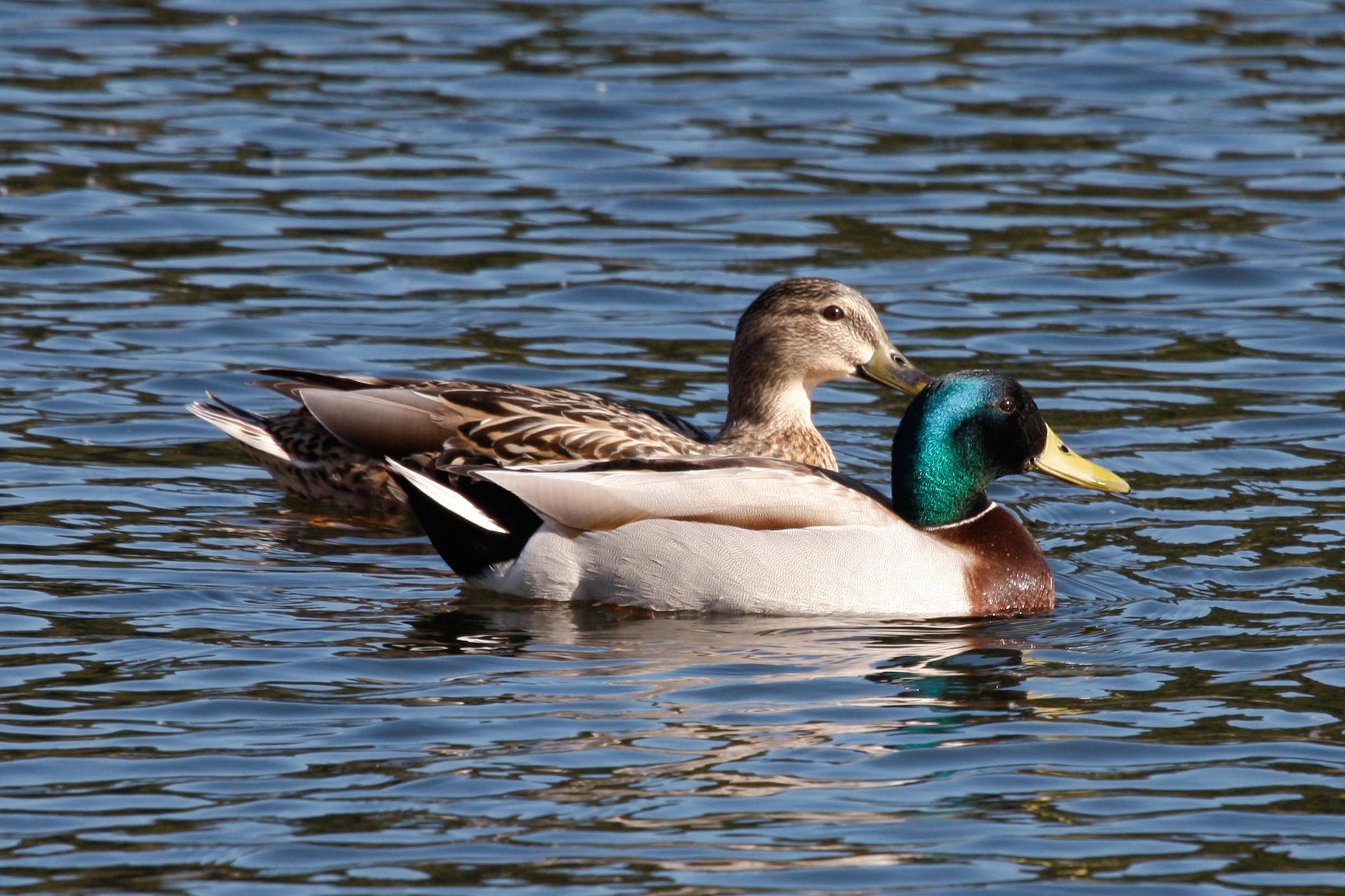 A veces un pato es solo un pato - 2 8