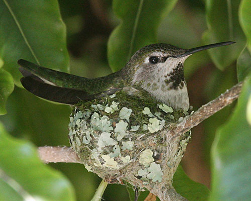 hummingbirds essay As far as birds go, hummingbirds are among the most territorial of all why do hummingbirds chase each other at the feeder instead of using it at the same time.