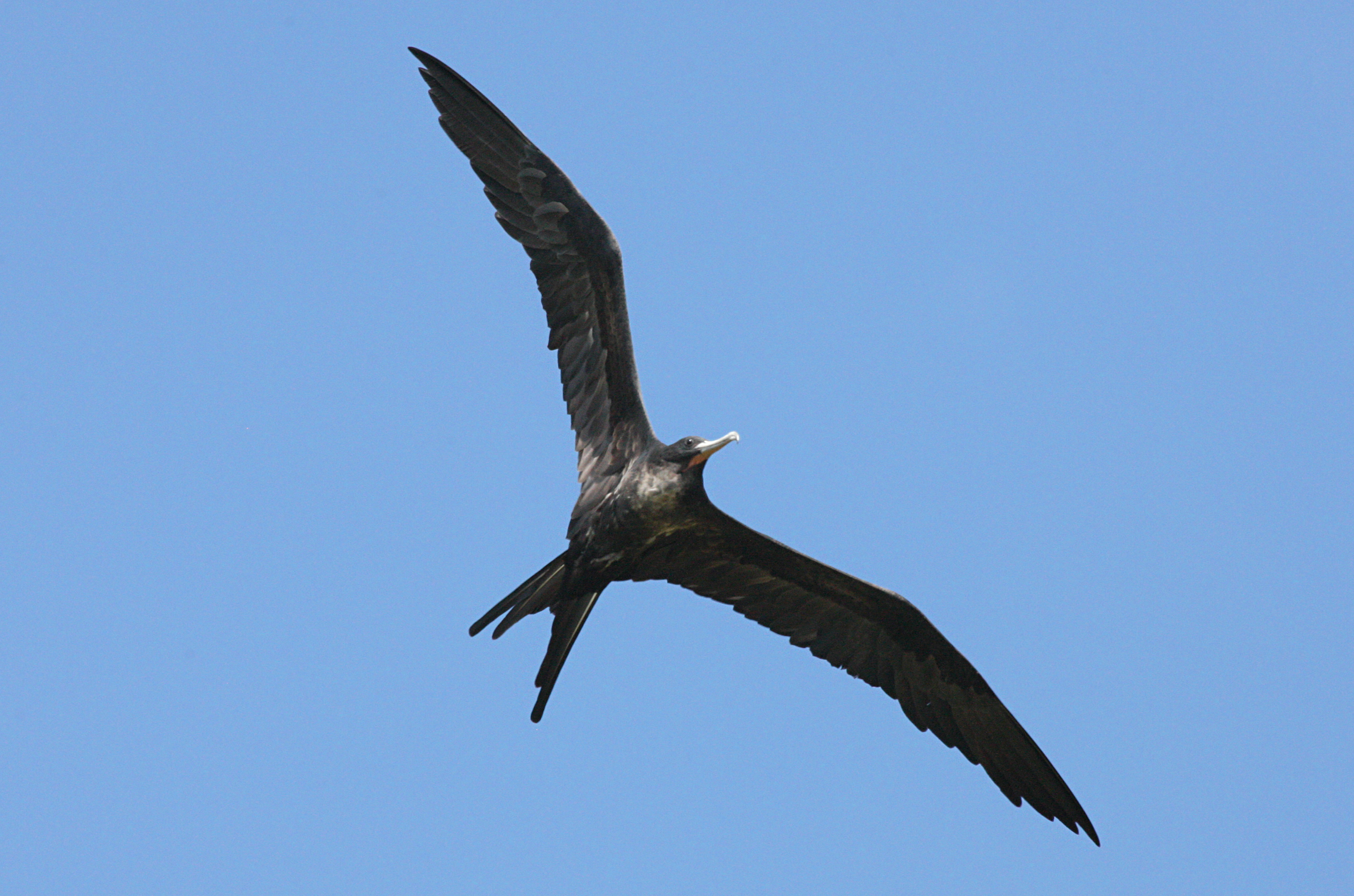 great frigatebird Figure 84 california's two records of the great frigatebird and a specimen from oklahoma provide all records of this elegant seabird for the coterminous united states.