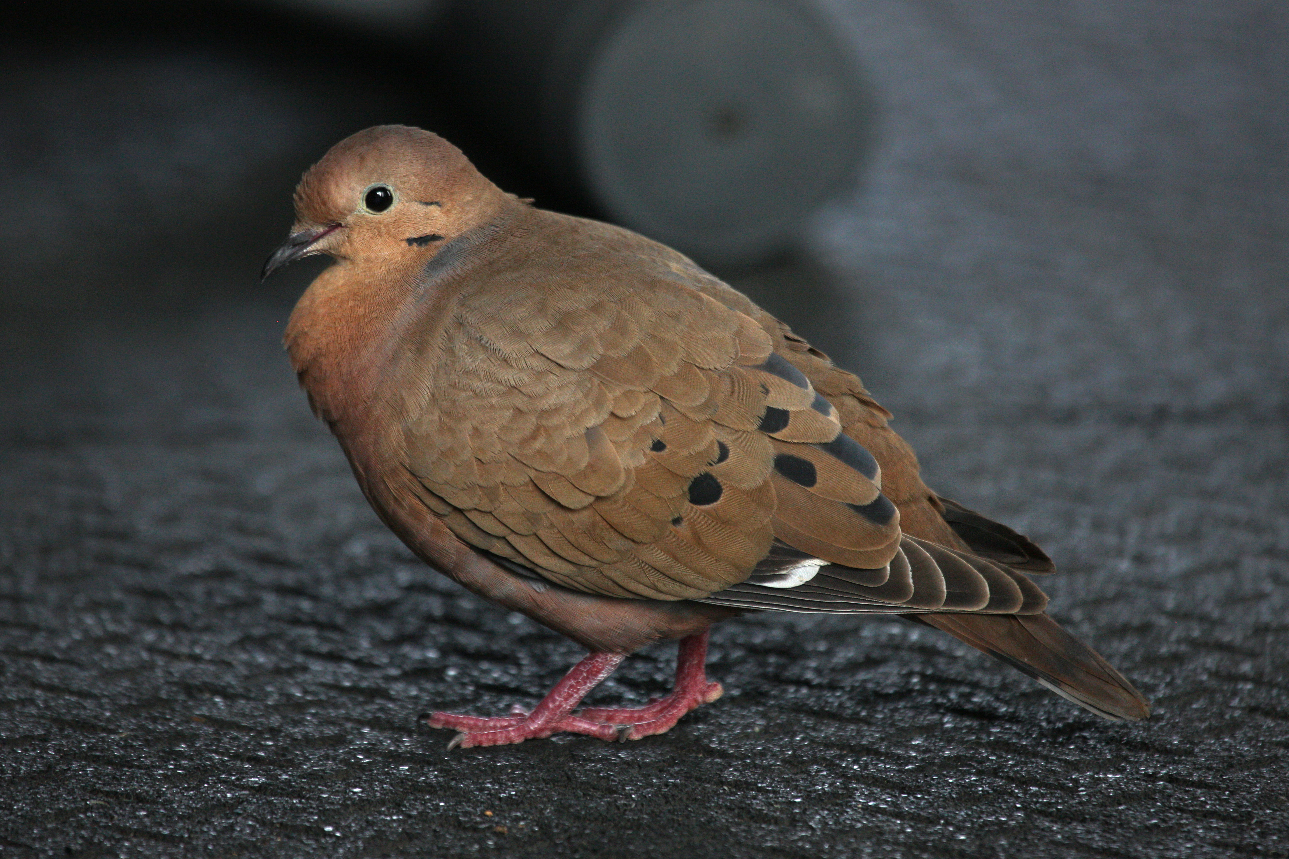 zenaida dove - photo #11
