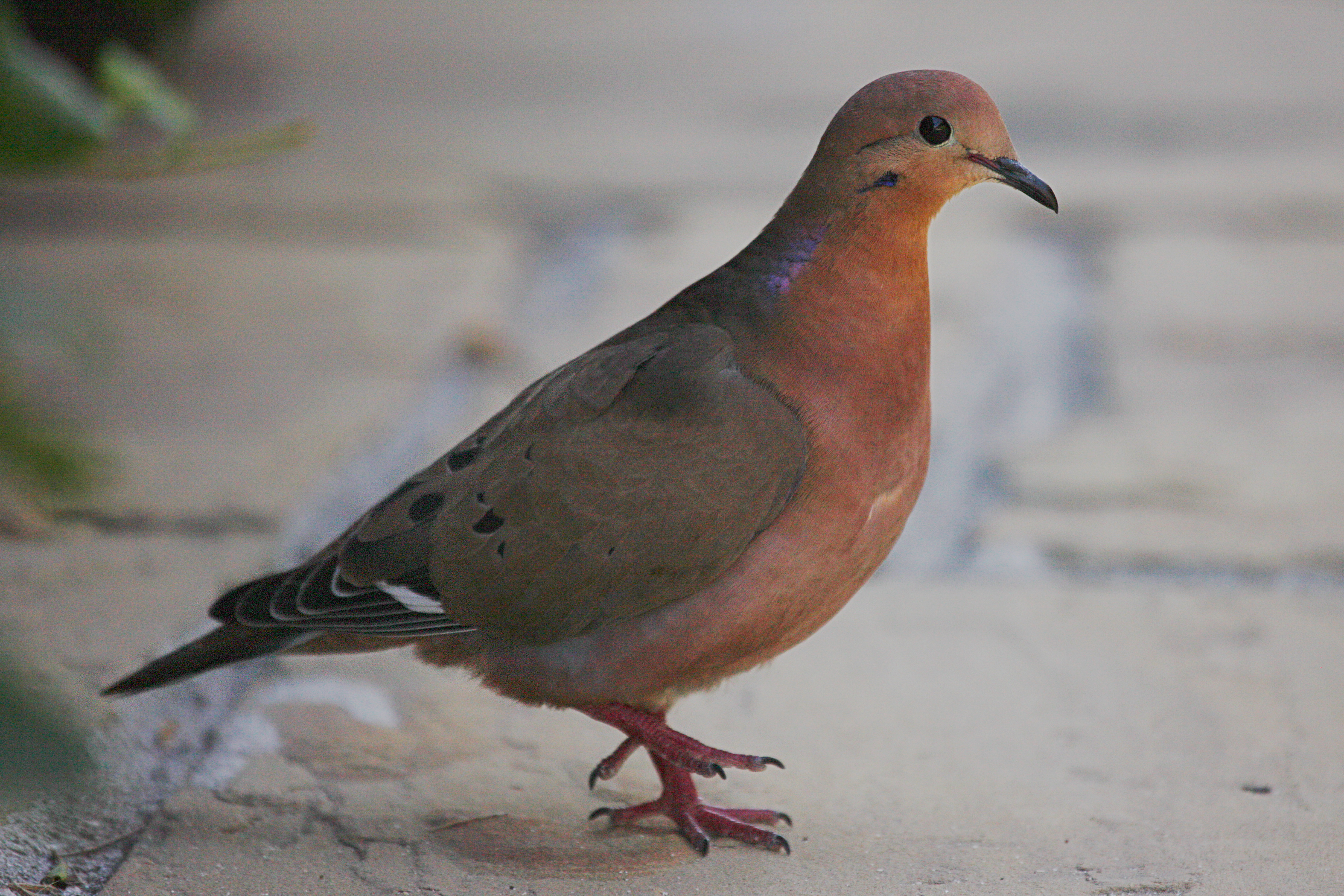 zenaida dove -#main