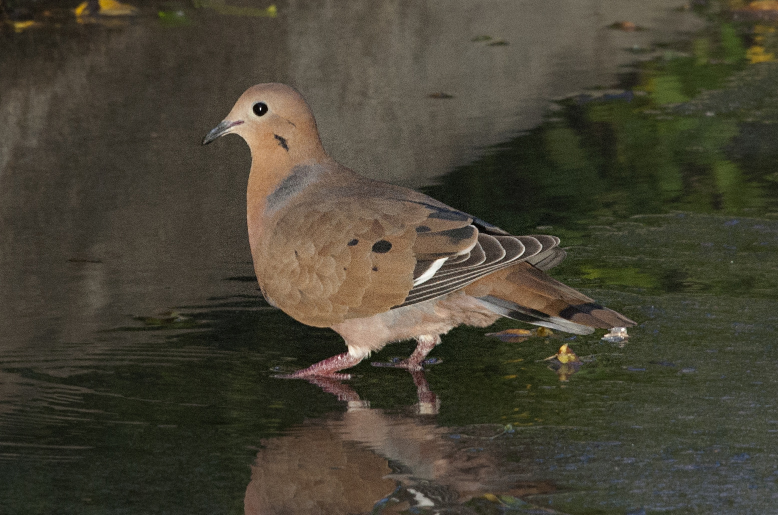 zenaida dove - photo #41