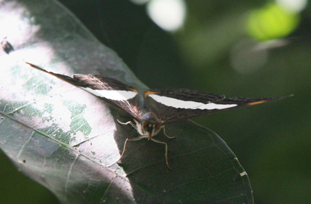 Adelpha basiloides - The Spot-celled Sister