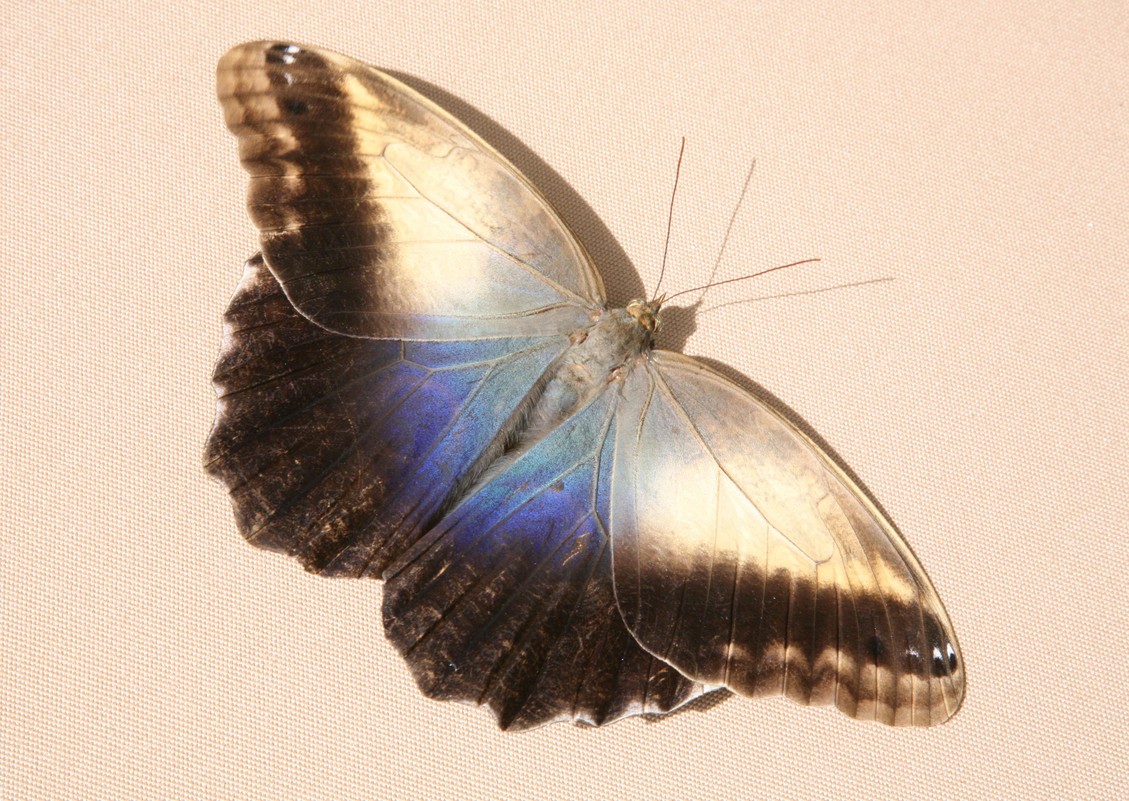 Caligo Memnon Memnon The Owl Butterfly