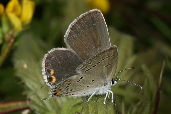 Eastern tailed blue butterfly