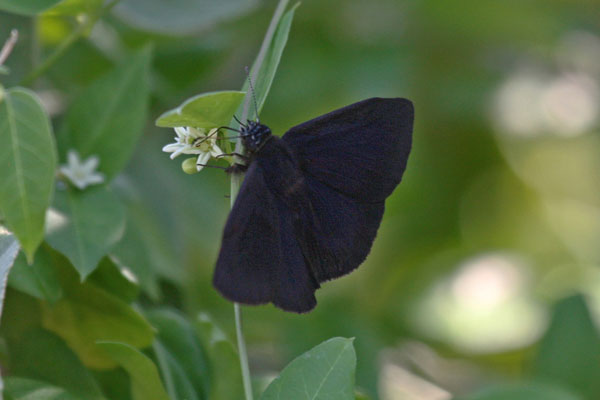 Ephyriades arcas philemon - The Tropical Duskywing