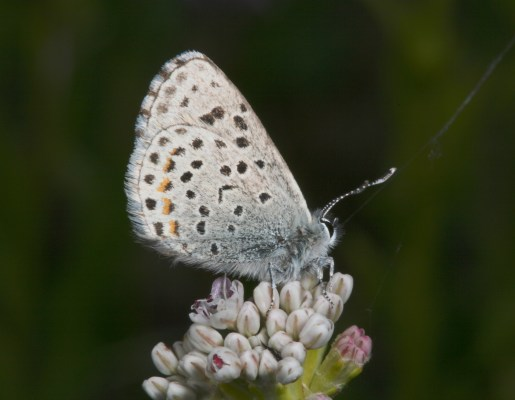 Euphilotes e. enoptes - The Pacific Dotted Blue