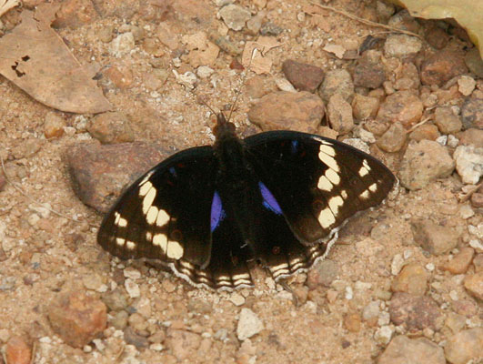 Junonia oenone oenone - The Dark Blue Pansy