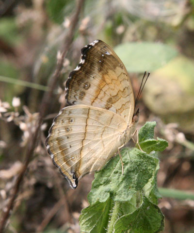 Junonia terea terea - The Soldier Pansy