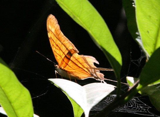Marpesia berania - The Orange Daggerwing
