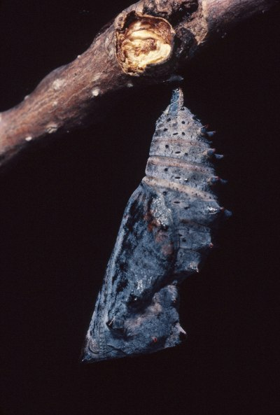 Nymphalis antiopa - The Mourning Cloak