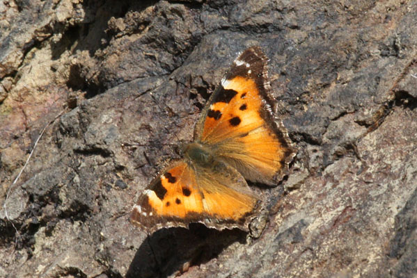 Nymphalis californica - The California Tortoiseshell