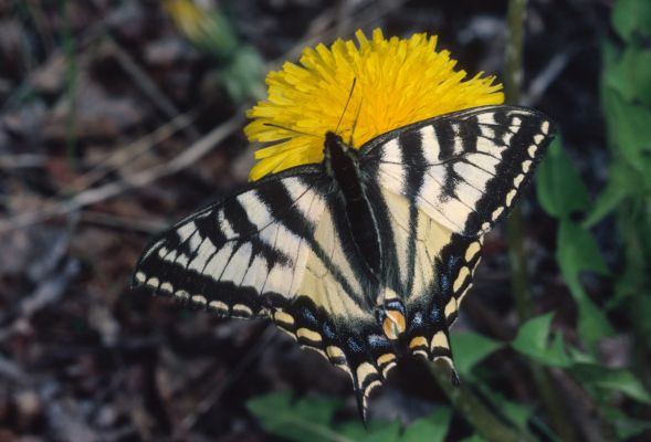 Papilio canadensis - The Canadian Tiger Swallowtail