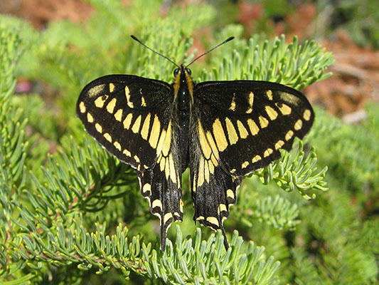 Papilio z. zelicaon - The Anise Swallowtail