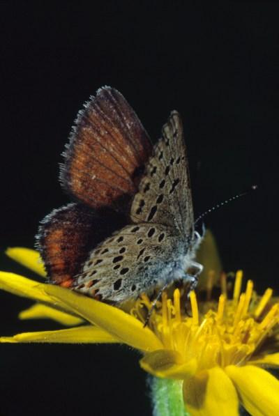 Plebejus saepiolus aehaja - The Greenish Blue