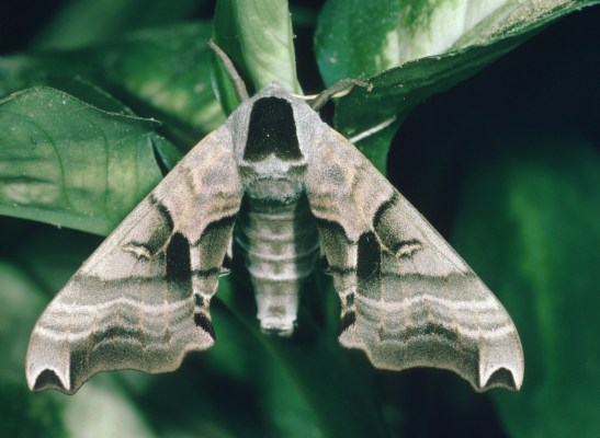 Smerinthus jamaicensis (The Twin-spot Sphinx)