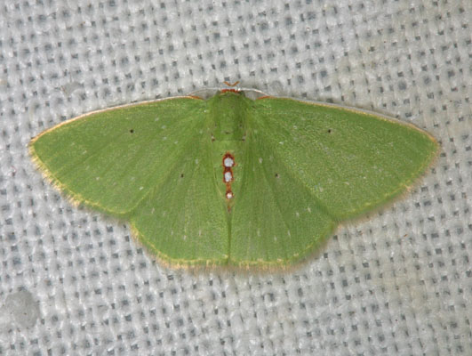Synchlora herbaria sanctaecrucis - The Virgin Islands Emerald Moth