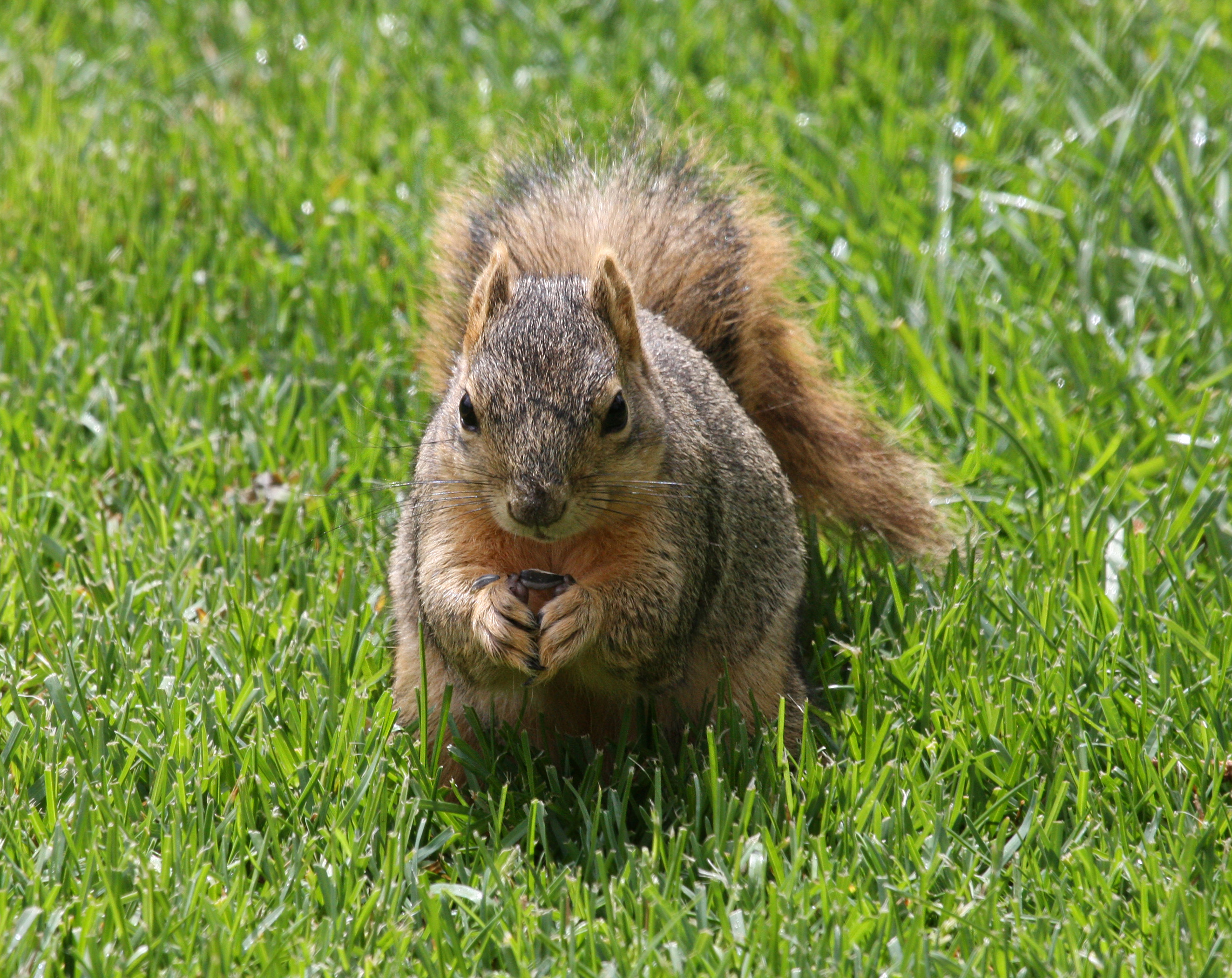 eastern fox squirrel sciurus - photo #17