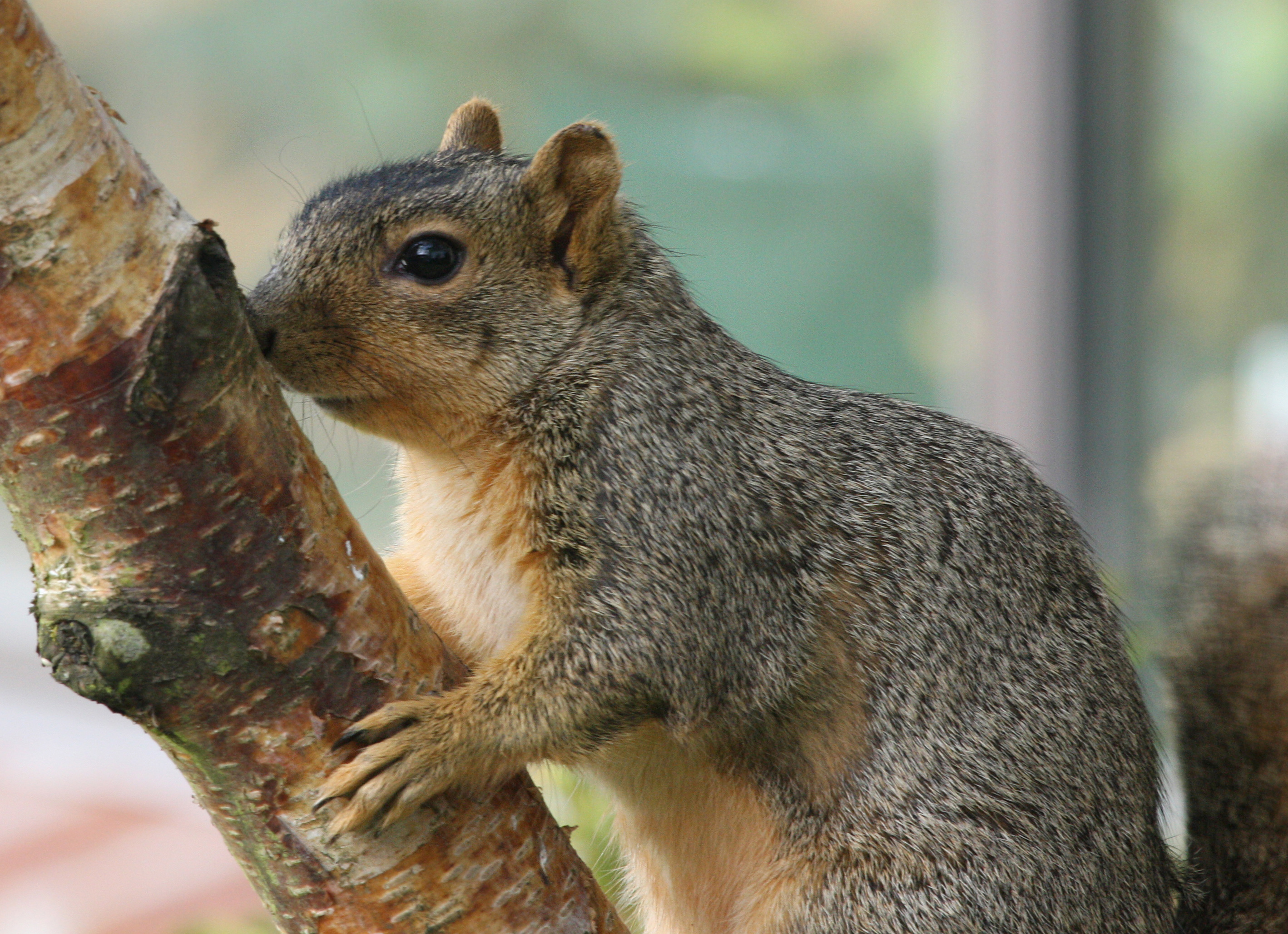 eastern fox squirrel sciurus -#main