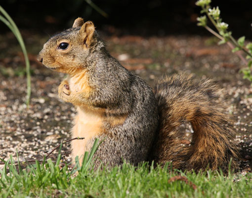 eastern fox squirrel sciurus - photo #10